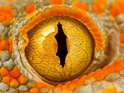 """Eye of a Tokay Gecko"" by Alan M."